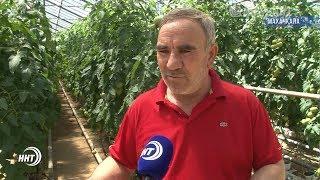 КАК выращивают дагестанские тепличные помидоры?