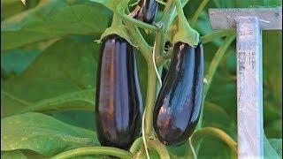 Югра - родина паслёна тёмноплодного. Урожай - 100 кг в неделю