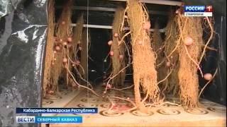 В КБР осваивают новый метод выращивания картофеля