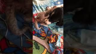 Во Владивостоке новорожденную леопардессу «удочерила» собака
