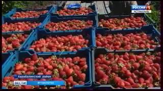 В Харабалинском районе полным ходом идет массовый сбор ягод