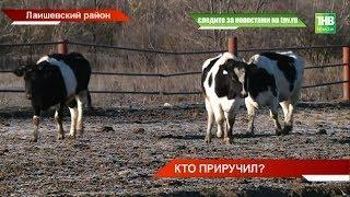 Без присмотра, голодные и замёрзшие - судьбой коров озабочены сельчане Лаишевского района | ТНВ