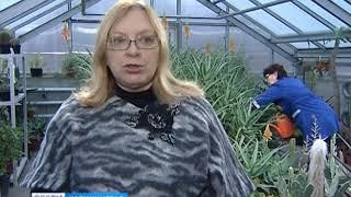 В ботаническом саду БФУ имени Канта расцвело алоэ