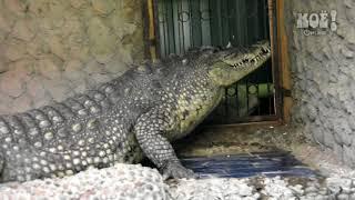 Жительница Воронежа оформила опеку над крокодилом