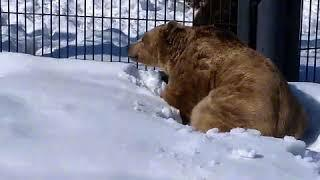В воронежском зоопарке проснулись медведи