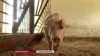 В Томске подготовились к вспышке африканской чумы свиней