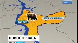 Крупного медведя ликвидировали в окрестностях села Тараса в Боханском районе