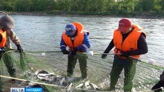Привередливая рыба неохотно идёт в холодные реки Колымы
