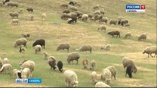 Животноводы Забайкалья готовятся к Сибирско-Дальневосточной выставке овец и коз