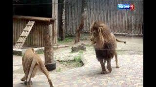 В Ростовском зоопарке льва и львицу запустили в общий вольер