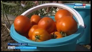 В Астрахани 56 новых сортов овощей выращивают в агропарке при АГАСУ