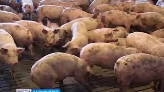 В Калининградской области на одной из крупнейших свиноферм произошла вспышка африканской чумы свиней