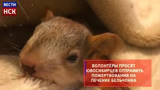В Новосибирске волонтёры спасают бельчонка