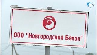 «Новгородский бекон» оправляется от вспышки африканской чумы свиней