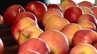 Новая линия для калибровки и фасовки яблок открылась в Абинском районе