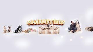МАЛАМУТ ШОУ   ЩЕНКИ ОНЛАЙН. Puppy online   Malamutes Show online