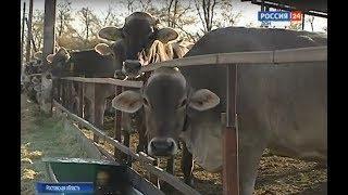 Инвестиции и поддержка: как на Дону развивают молочное животноводство