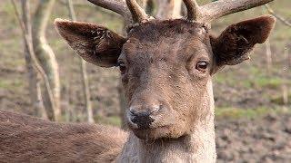 Европейских ланей впервые выпустят в дикую природу на Кубани