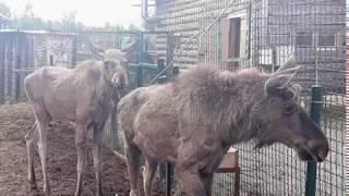 Лосята из Ярославского зоопарка переехали в национальный парк «Лосиный остров»