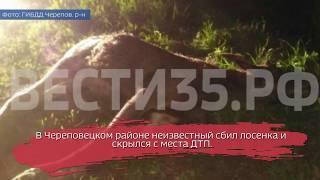 Неизвестный сбил лосенка в Череповецком районе и скрылся с места ДТП