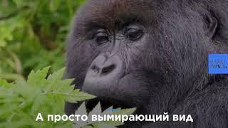 """Горных горилл """"повысили"""" до """"животных, находящихся в опасности"""""""