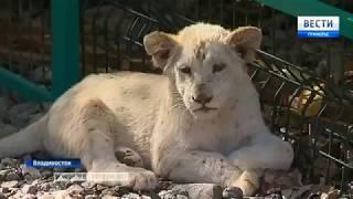 Белый лев из Крыма появился во Владивостоке #2