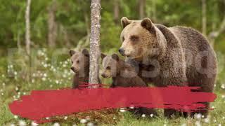 Поход в лес едва не закончился трагедией: череповчанка встретила медведицу с выводком