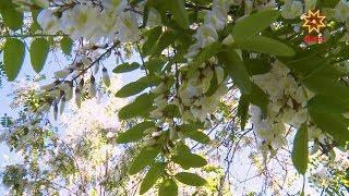 В парке у детского медицинского центра в Чебоксарах расцвело необычное дерево