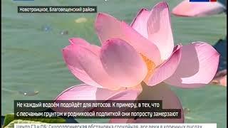 Перепады температур и дожди помешали цветению лотосов в Приамурье
