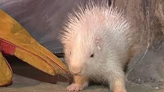 В Ярославском зоопарке появился новый обитатель -  маленький дикобраз–альбинос