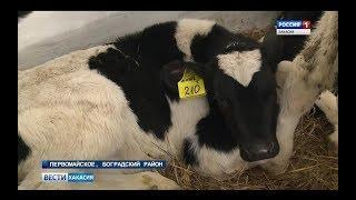 Фермер из Хакасии приобрел коров, которых в Сибири не выращивают. 07.02.2018