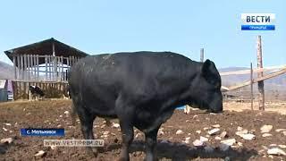Без пастбища остался один из лучших в Приморье быков-производителей по кличке Султан