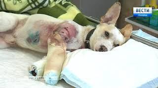 """""""Это выгодно"""": В ветклинике Владивостока выхаживают расстрелянного пса"""