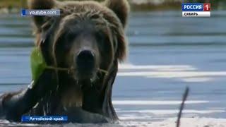 В лесах Алтайского края охотоведы начали перепись медведей