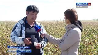 На юге Волгоградской области готовятся к уборке хлопчатника