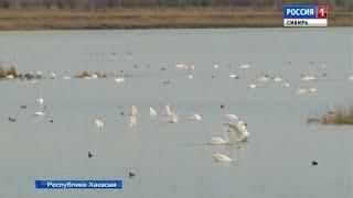 Лебеди поселились на одном из озёр Республики Хакасия