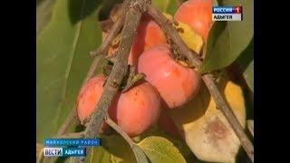 В Адыгее учёные впервые вырастили товарную морозостойкую хурму