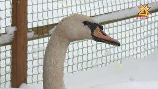 Еще пара недель - и  лебеди снова переедут на Залив.