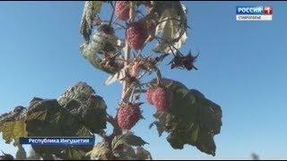 Свежие ягоды зимой. Экзотическая ферма в Ингушетии