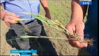 Под нож  В пострадавших от засухи районах Иркутской области фермеры вынуждены сокращать поголовье КР