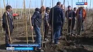 КЧР может стать крупнейшим производителем груши в России