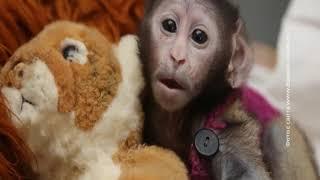 У красных мартышек ростовского зоопарка родилось три малыша