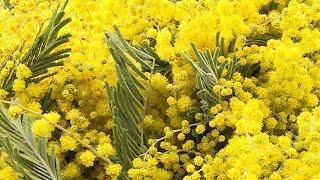 В Сочи начались сезонные поставки мимозы из Абхазии