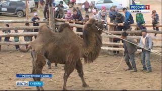 В Тыве состоялся конкурс на лучшую стрижку верблюда