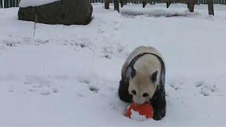 Панды в восторге от снега