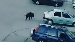 Прогулка кабана по Волгограду. Зоологи не рекомендуют контактировать с дикими животными