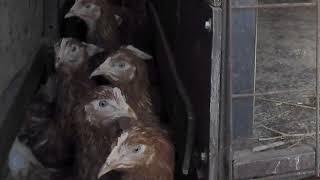 В Ярославской области задержали груз с курами
