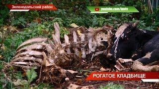 Рогатое кладбище: незаконный скотомогильник в Зеленодольском районе | ТНВ