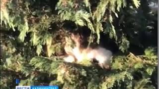 На ёлке Куршской косы поселился кот