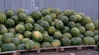 В Ярославле проверили точки торговли арбузами